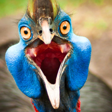 The cassowary gives off a booming rumble.