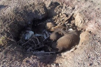 The greyhound mass grave was discovered on July 3.
