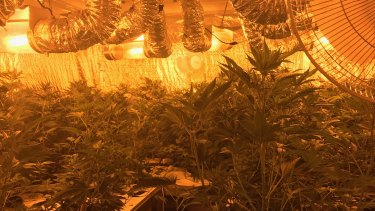 Inside a recently discovered cannabis house.