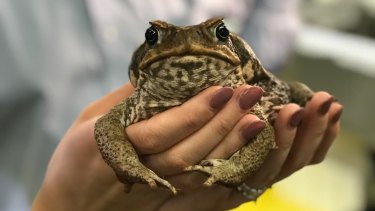 Scientists hope viruses in the cane toad's DNA could be weaponised to turn the tables on the pest.