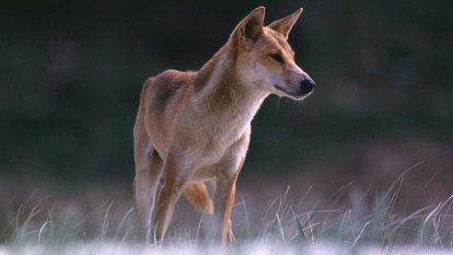Scientists suggest dog food levy to fund dingo conservation