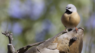 The black-throated finch on the old Moray Downs cattle property, which was bought by Adani to mine for coal.