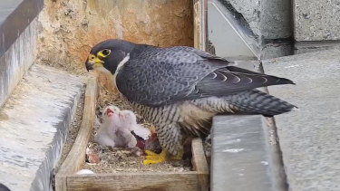 Melbourne's resident falcons have expanded their family, with new chicks hatching at 367 Collins Street.