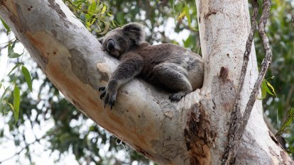 'Disincentive': State sabotages koala protection with rates bill