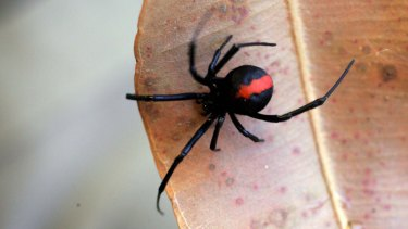 The possible discovery of redback spiders on a freight ship bound for Norfolk Island has ignited biosecurity concerns.