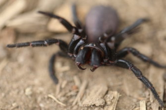 People in Sydney need to be able to tell the difference between a funnel web and a redback spider.