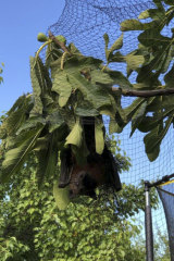 A grey-headed flying fox stuck in tree netting.