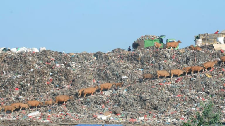 The dump on a clear day: cattle grazing.