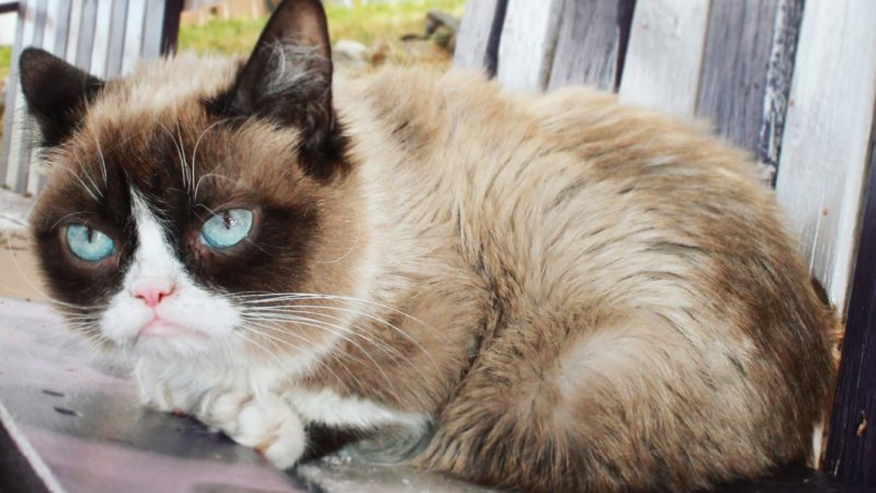 Small Business Banking >> Iconic internet meme Grumpy Cat has died