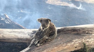 The koala and its joey were taken to the RSPCA Queensland wildlife hospital for treatment and are being monitored.