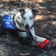 Bear the koala detection dog searches scorched bushland at Cooroibah on the Sunshine Coast for surviving koalas. Credit: Supplied.