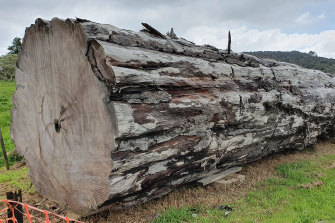 Ancient kauri trees are often found on New Zealand's North Island perfectly preserved in salt marshes.
