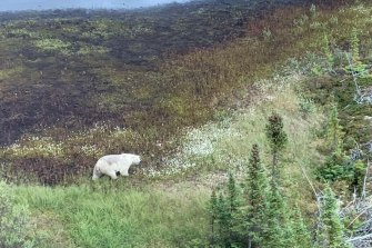 Searchers have encountered a polar bear was during the manhunt for Kam McLeod and Bryer Schmegelsky in northern Manitoba.