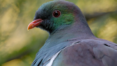 The kereru, a colourful wood pigeon, has been crowned the winner of the annual public competition.