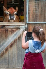 April the Jersey Cow makes a willing model for Animal Photography Day, apopular holiday program at RSPCA Victoria's Education Centre and Barn (Jan 2020).