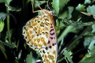 """The Australian fritillary is the """"most imperilled"""" Australian butterfly."""