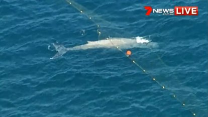 Trapped whale freed from Gold Coast shark nets