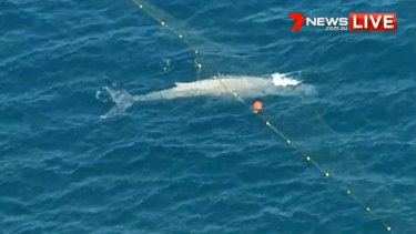 A whale was caught in shark nets in water off Currumbin in Queensland.