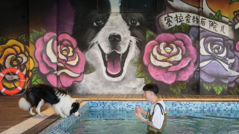 Zhou Tianxiao instructs his border collie, Sylar, to jump into the pool in his mansion in Beijing.