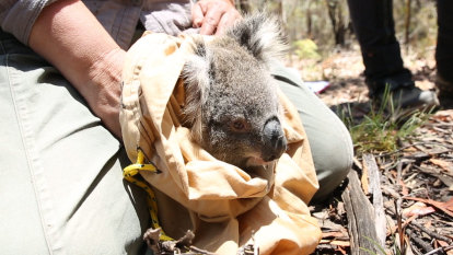 'They've got nothing to go back to': San Diego Zoo helps in Blue Mountains koala recovery