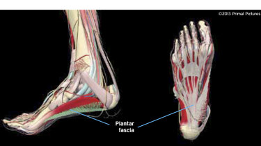 The plantar fascia is indicated in this diagram.