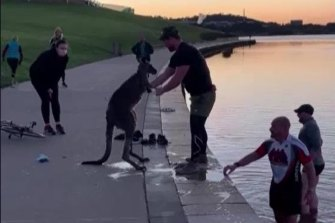 A kangaroo that was pulled from Lake Burley Griffin was later put down by ACT government veterinarians.
