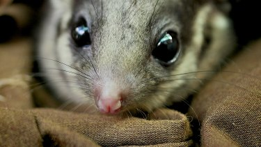 The Leadbeater's possum is the state's critically endangered emblem