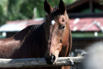 Bold Personality, one of the horses used as a ring in for Fine Cotton, enjoys retirement with a new name, Percy.