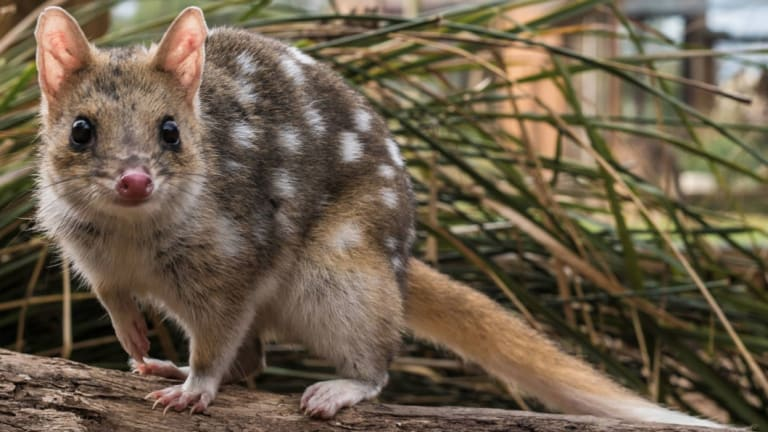 An eastern quoll in Booderee National Park, where the species has produced its first babies on the Australian mainland in more than 50 years.