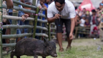 Bali pigs to miss out on airline meals