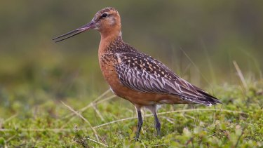 Then-environment minister Josh Frydenberg asked to protect the vulnerable bar-tailed godwit at Toondah Harbour.