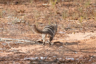 A numbat hightails its way into its new home after being released into the Mallee Cliffs National Park.