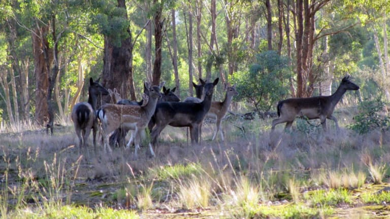 Since July 2016 the Brisbane City Council has received about 140 reports of feral deer sightings in the city's western suburbs.