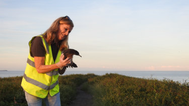 Each autumn WIRES and NSW National Parks rescue hundreds of wedge tail shearwaters that have been lured into Coffs Harbour by night lights.