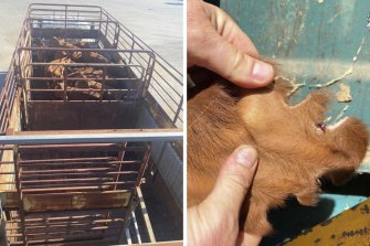 Livestock in a truck, and damage to an ear, highlighted by police as they launch an operation targeting cattle rustling in WA's north.
