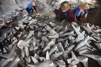 Dong Gang Fish Market in Kaohsiung, Taiwan, processes thousands of frozen shark fins a day.