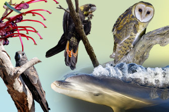 Critically endangered flora and fauna in Australia include the Mt Cole grevillea, the glossy black cockatoo, the  masked owl, the Burrunan dolphin and the black falcon.