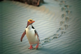 The hoiho, or yellow-eyed penguin, is on the brink of extinction.