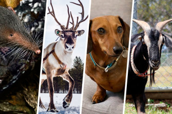 Traces of shrew, reindeer, goat and dog have been found in herbal supplements.