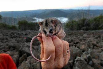 Mountain Pygmy Possum, one of Australia's most threatened species, near Cabramurra in Kosciuszko National Park.
