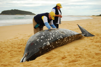 ORRCA volunteers, Vicky O'Cass and Jenny Ratjens, recorded details of what is believed to be a rare type of beaked whale, Mesoplodon bowdoini, that washed near Ulladulla on the NSW South Coast in 2009.