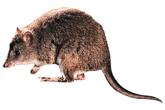 A long-footed potoroo.