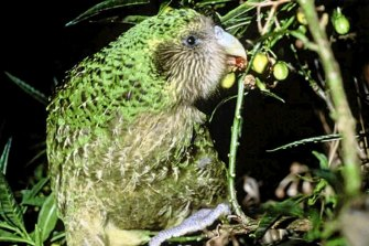 The kakapo, or owl parrot, finished in the top five birds of the year for 2019.