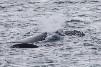 A mother southern right whale protects her calf (pictured at front left, dark spot) off the coast near Portland.