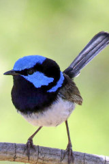A male Superb fairy-wren.