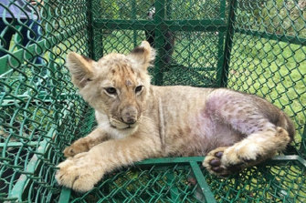 This lion cub was one of 30 big cats seized by police during coordinated raids on traffickers across the world in June 2019.