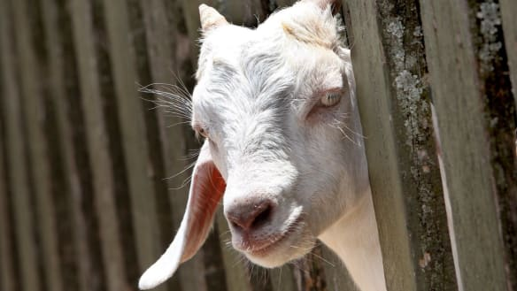 Woman injured in goat 'incident' in central Queensland