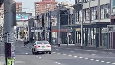 The deer running down Johnston Street on Saturday morning.