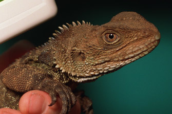 There are grave fears for the Gippsland water dragon.