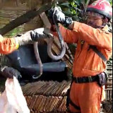 Firefighters remove cobras from a home in Kampung Sawah.
